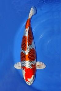 Kujaku-60-cm