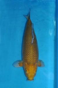 Nisai Chagoi 62 cm