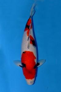 Showa-43-cm
