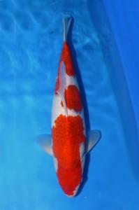 Ai Goromo 45 cm