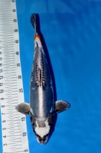 Beni Kikokuryu 47 cm
