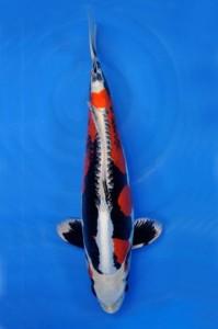Beni-Kikokuryu 48 cm