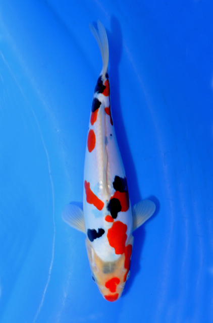 Doitsu Kohaku | www.pixshark.com - Images Galleries With A ...