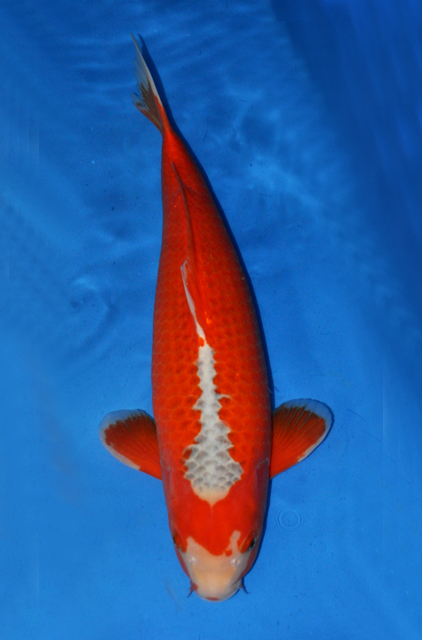 1000 images about koi carp on pinterest koi for sale for Grand champion koi for sale