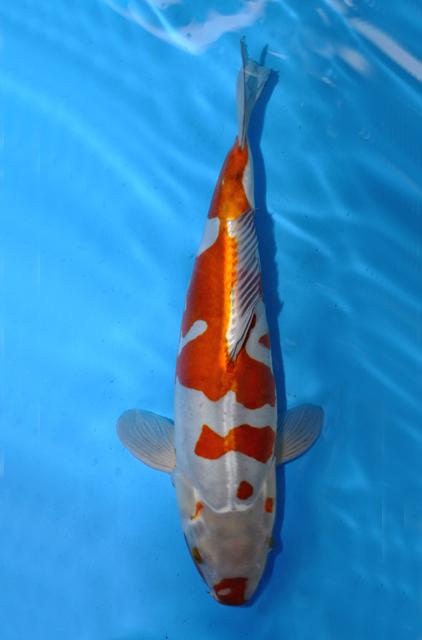 What is kogane for Ochiba koi fish