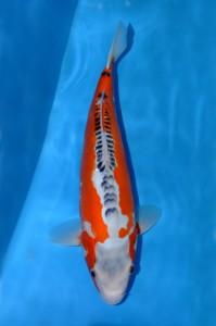 Shusui 42 cm