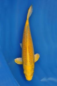 Yamabuki 40 cm